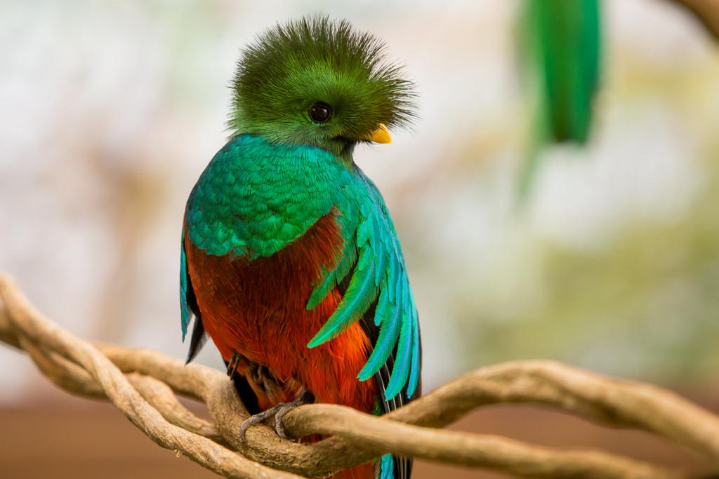 El-quetzal-es-un-ave-de-belleza-singular-que-ya-puede-ser-apreciado-en-Xcaret.